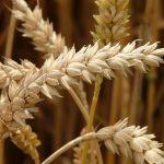 Wheat (Weizen): Future